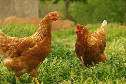 Huhn - chicken 07
